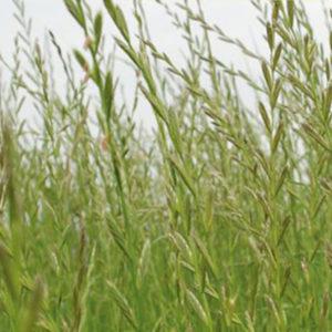 Westerwoldiskt rajgräs
