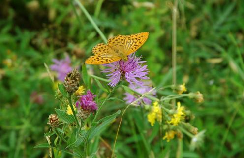 Fjärilsblandning 118