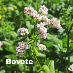 Bovete