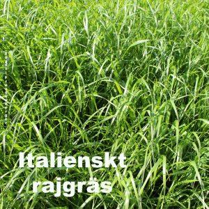 Italienskt rajgräs