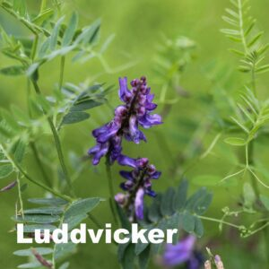 Luddvicker