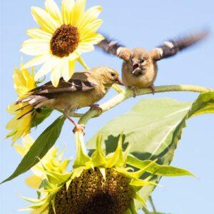 Fåglar-Solros / solrosfrö