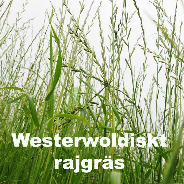 WW rajgräs
